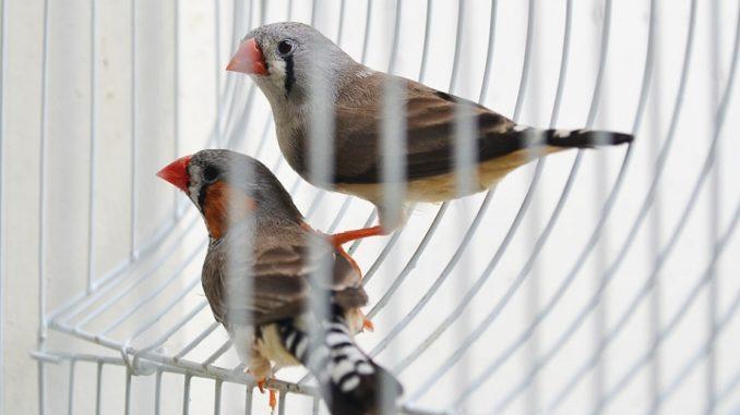 Vtáky v klietke